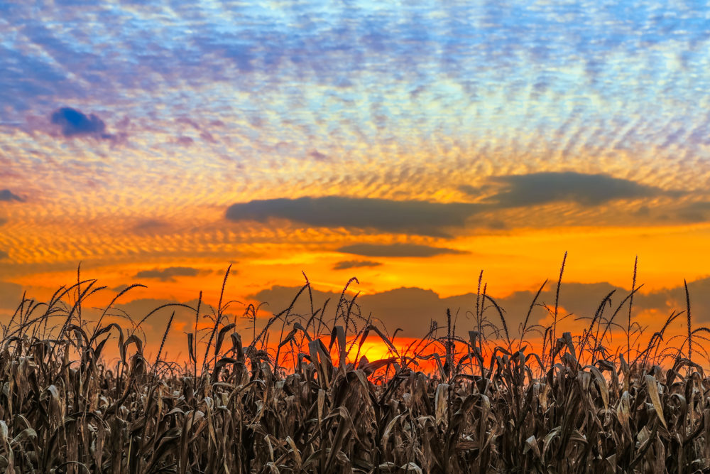 Autumn cornstalks are backed by a vibrant sunset sky in rural Indiana.