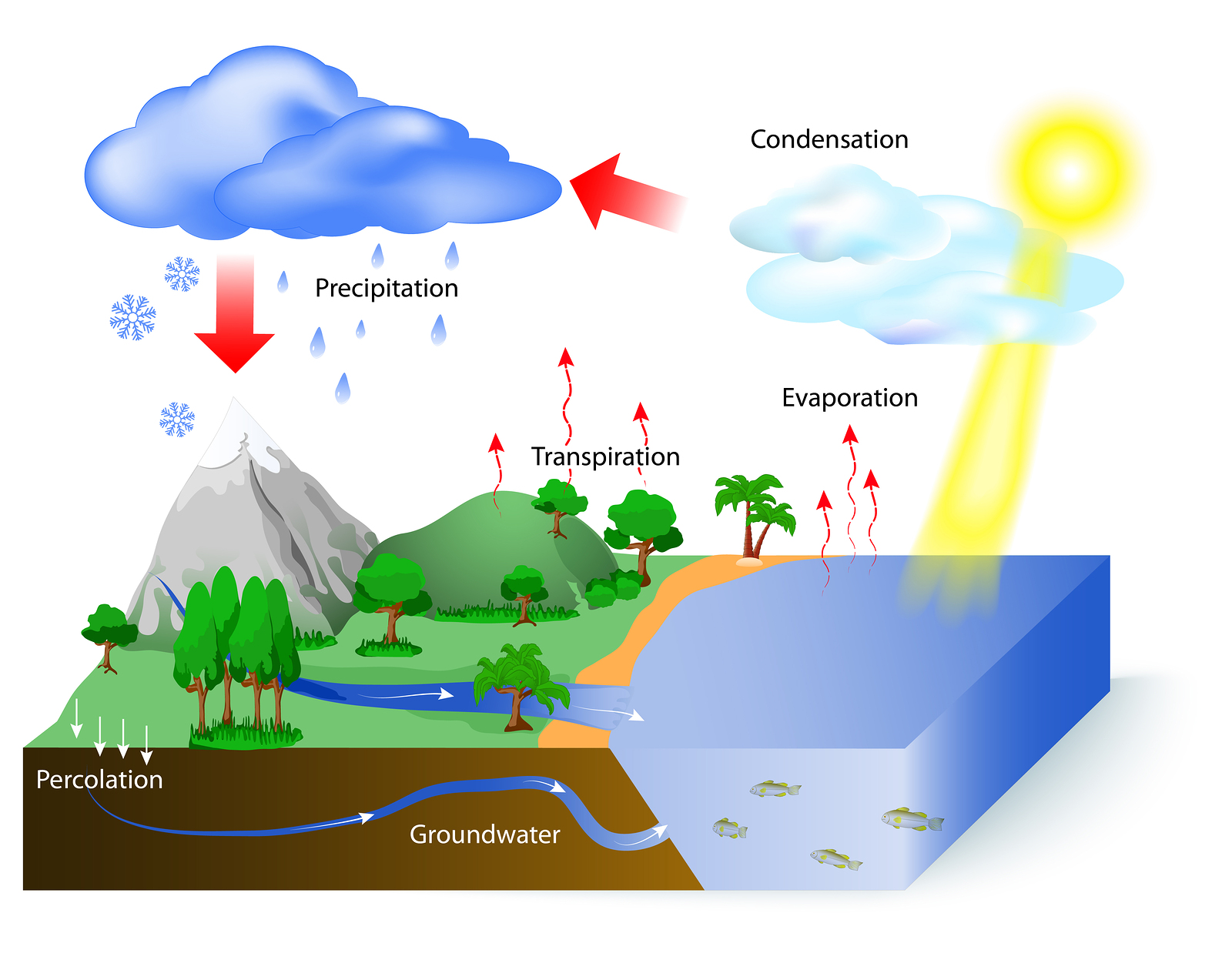 Water cycle diagram. The sun which drives the water cycle heats water in oceans and seas. Water evaporates as water vapor into the air. Labeled